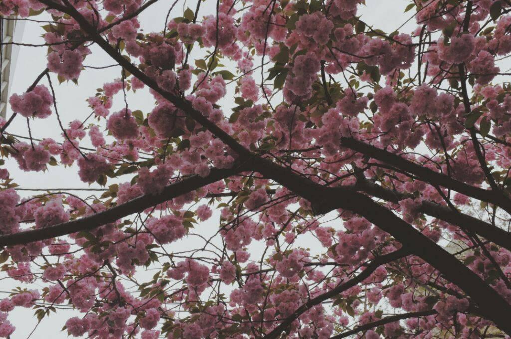 cherry blossom japan sakura