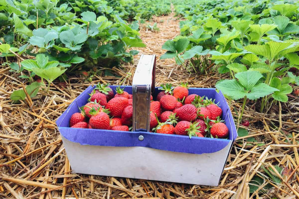 strawberry picking stanhill farm